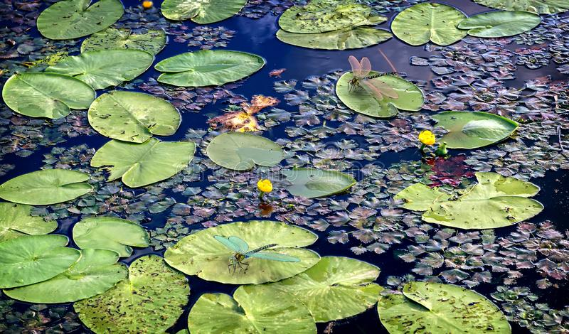 A superfície do lago com lírios de água 3D-visualization fotos de stock