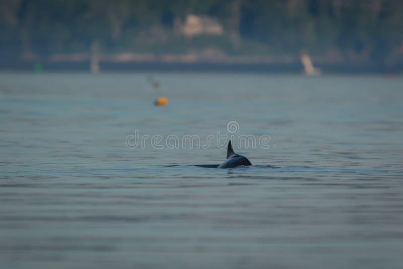 Superfícies da toninha de porto em uma manhã ensolarada do verão imagem de stock royalty free