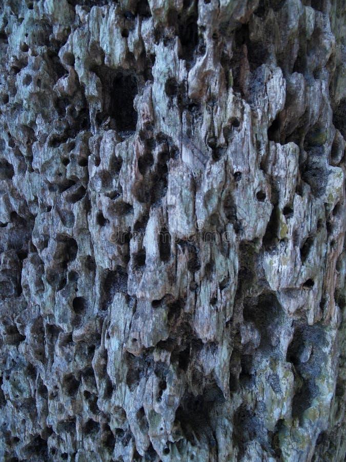 Superficie árbol porosa con gujeros stock images
