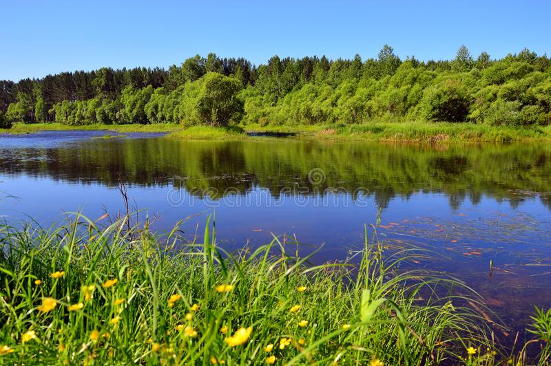 Superficie calma del fiume un giorno di estate soleggiato I ranuncoli gialli si sviluppano sulla sponda del fiume fotografie stock libere da diritti