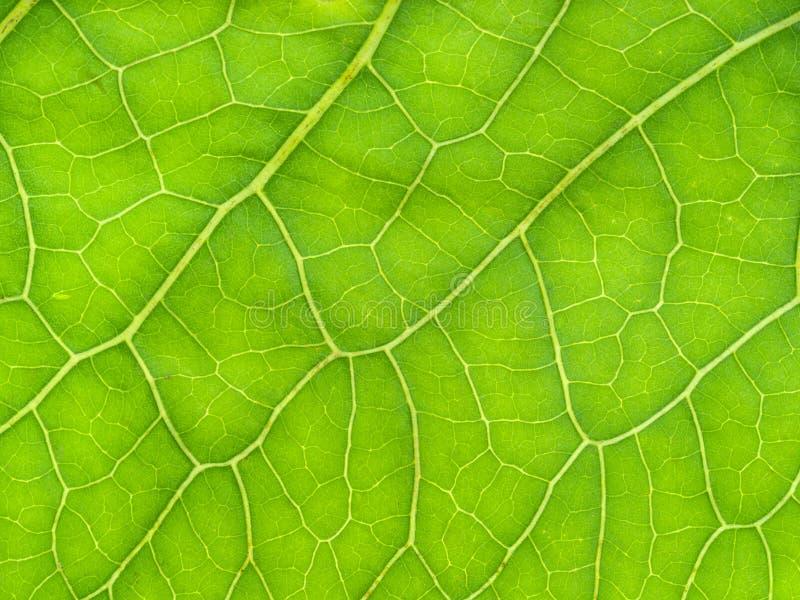 superficie de hoja verde fresca de Horseradish imágenes de archivo libres de regalías