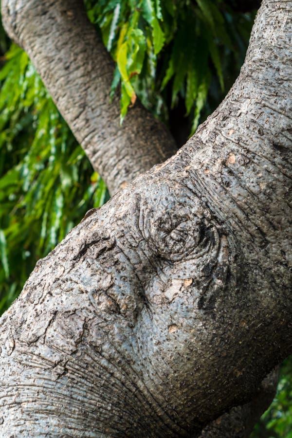 Superficie de Texrture de árboles grandes en fondo de las hojas imagen de archivo libre de regalías
