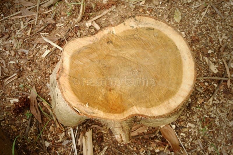 Superficie del árbol acortada, vista superior del tocón que puede considerar el anillo imagen de archivo libre de regalías
