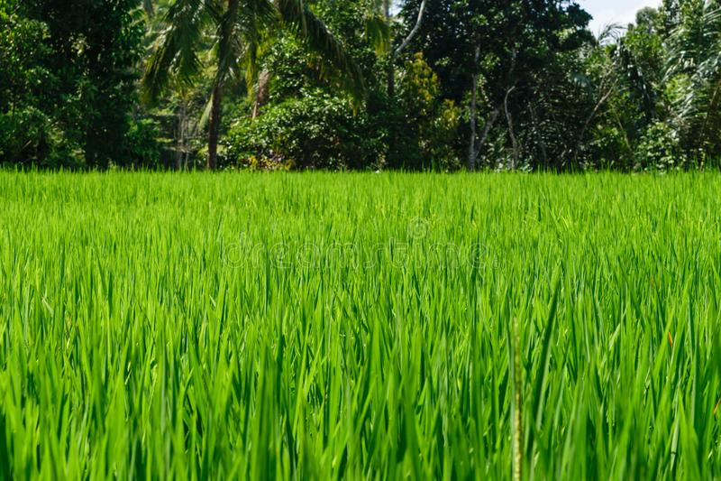 Superficie del fondo del campo verde del arroz en terrazas del arroz en Bali con el fondo borroso de la selva foto de archivo libre de regalías