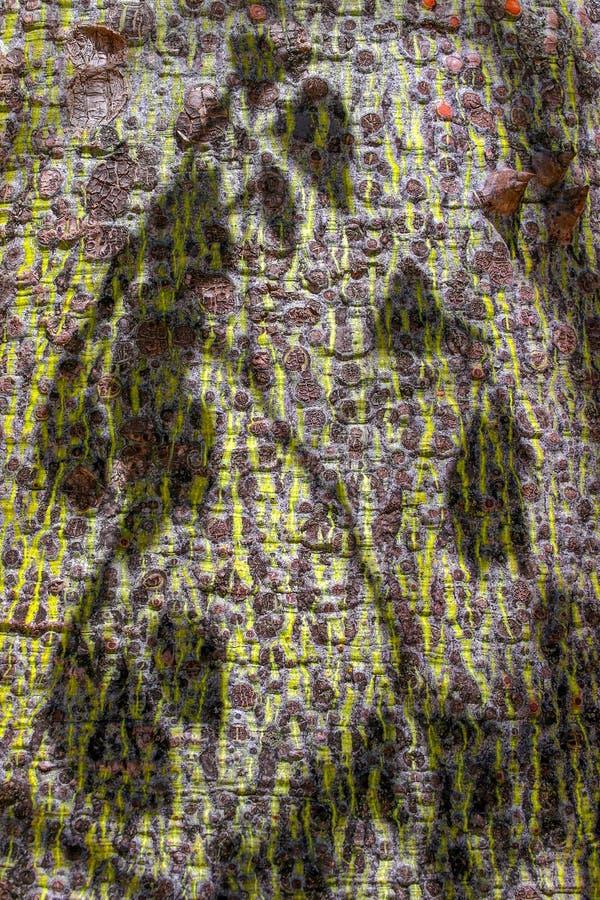 Superficie dell'albero dell'albero di seta del filo di seta, insignis Chorisia Speciosa della ceiba fotografia stock