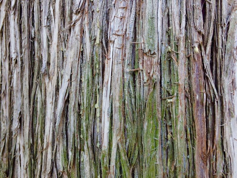 Superficie della corteccia di albero dell'eucalyptus fotografia stock