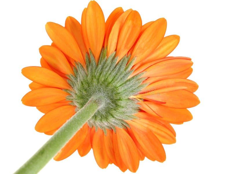 Superficie inferior del foco anaranjado de la margarita de Gerber en sépalo fotografía de archivo