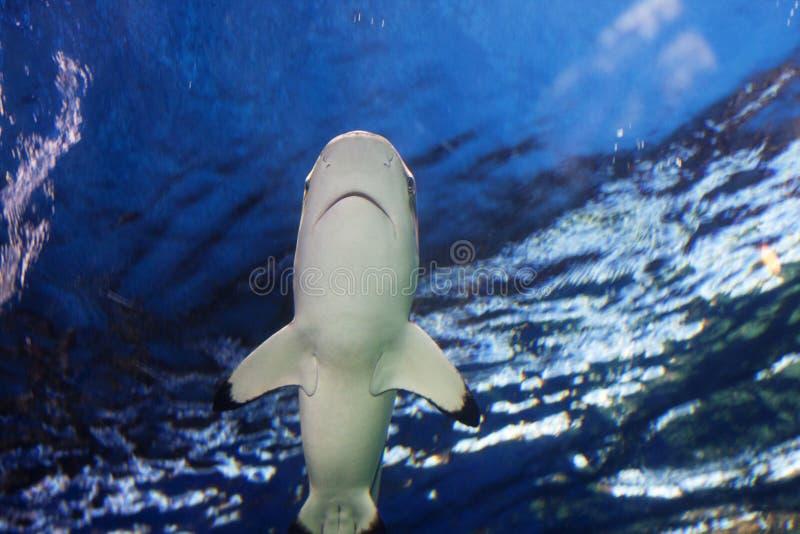 Superficie inminente del océano del tiburón del filón imagen de archivo
