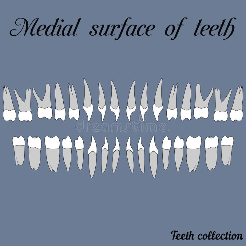 Superficie intermedia de dientes libre illustration