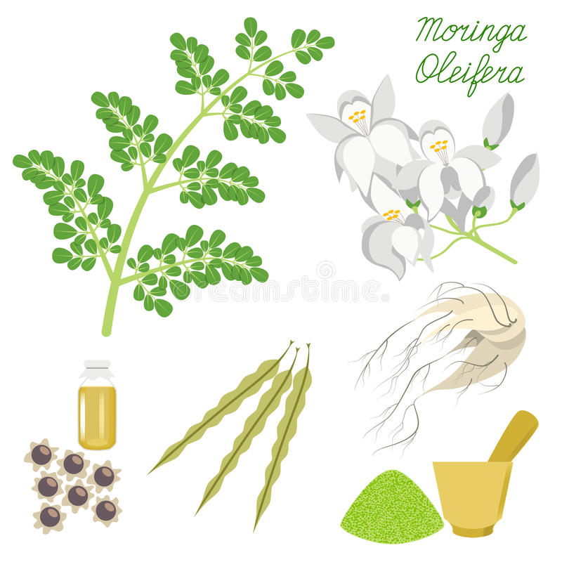 Superfood Moringa stock illustrationer