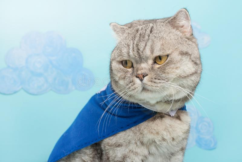 superhero cat, Scottish Whiskas with a blue cloak and mask. The concept of a superhero, super cat, leader royalty free stock photo