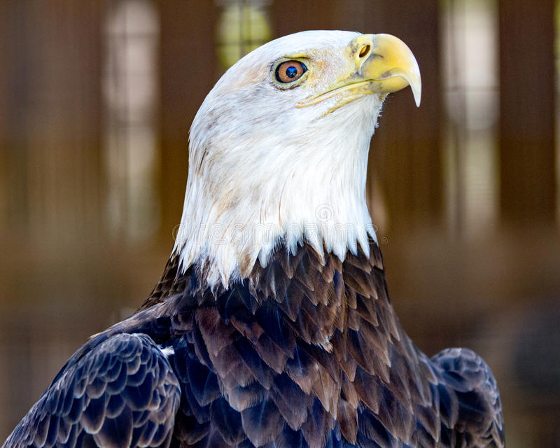 Superior Bird. Bald Eagle portrait from left royalty free stock photography