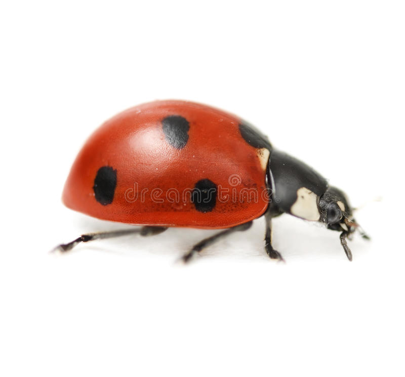 supermacro de coccinelle photographie stock libre de droits