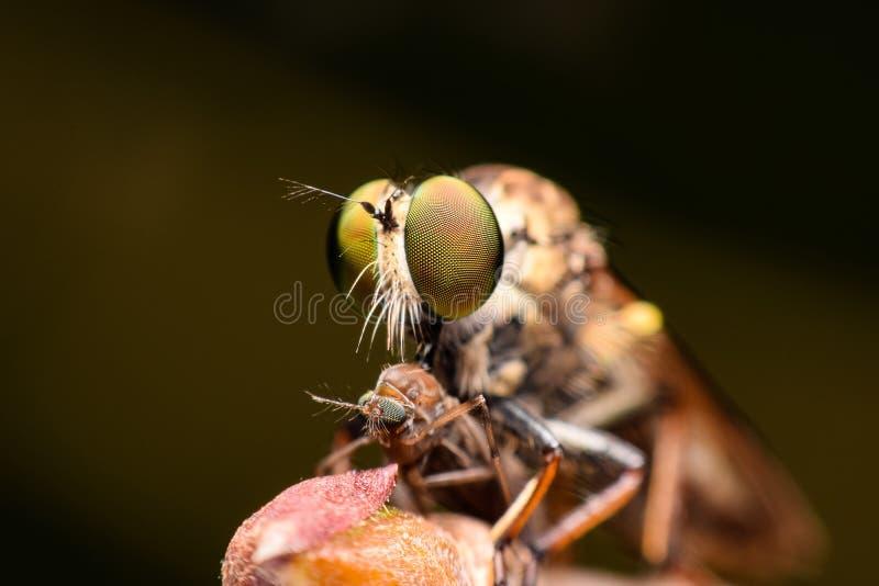 Supermakro3:1 der Räuber-Fliege stockfoto