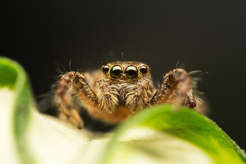 Supermakrobild der springenden Spinne Salticidae, hohe lineare Wiedergabe stockfotografie