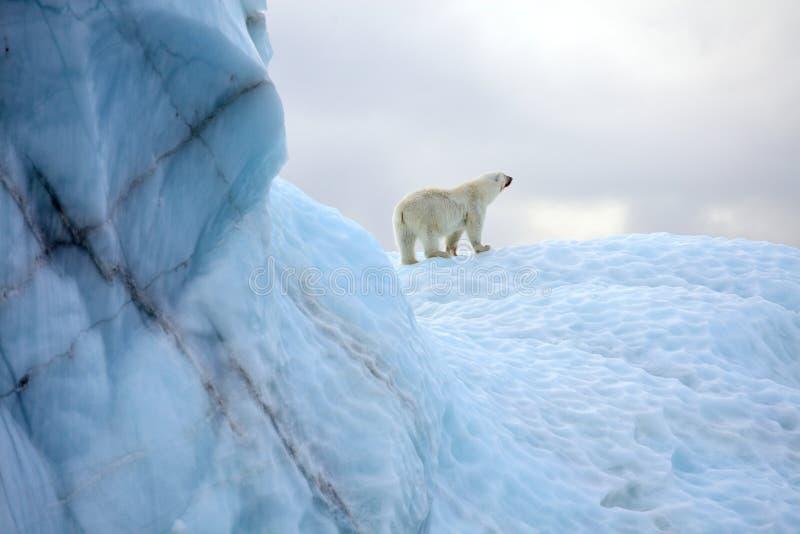 Supervivencia del oso polar en el ártico fotos de archivo