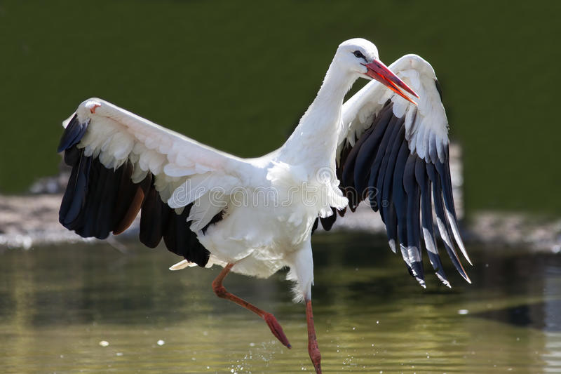 Supervivencia del pájaro salvaje herido más apto con el ala dañada Wh imagen de archivo libre de regalías