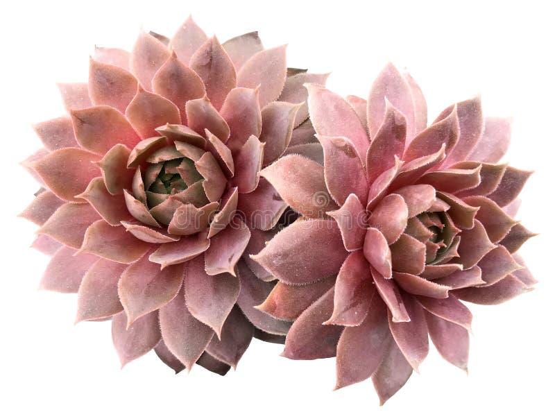 Supervivum Succulents royalty-vrije stock afbeeldingen