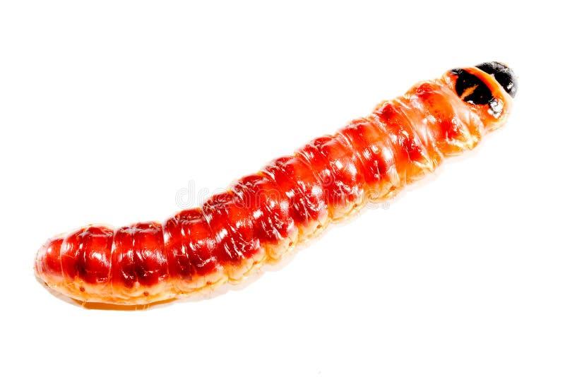superworm стоковая фотография