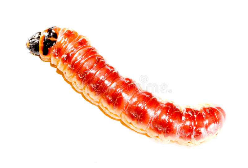 superworm zdjęcia royalty free