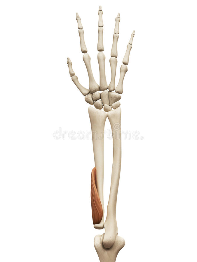 The supinator stock illustration. Illustration of anatomy - 45575982