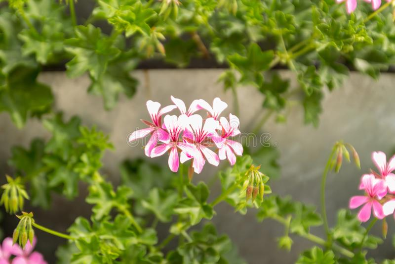 Suporte com o peltatum Hera-com folhas brilhante de florescência do Pelargonium dos pelargoniums Fim acima Foco seletivo imagens de stock