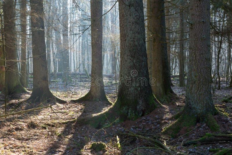 Suporte conífero da floresta de Bialowieza na manhã fotografia de stock