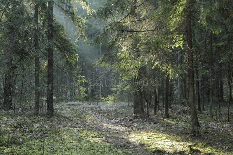 Suporte conífero da floresta de Bialowieza no por do sol imagens de stock royalty free