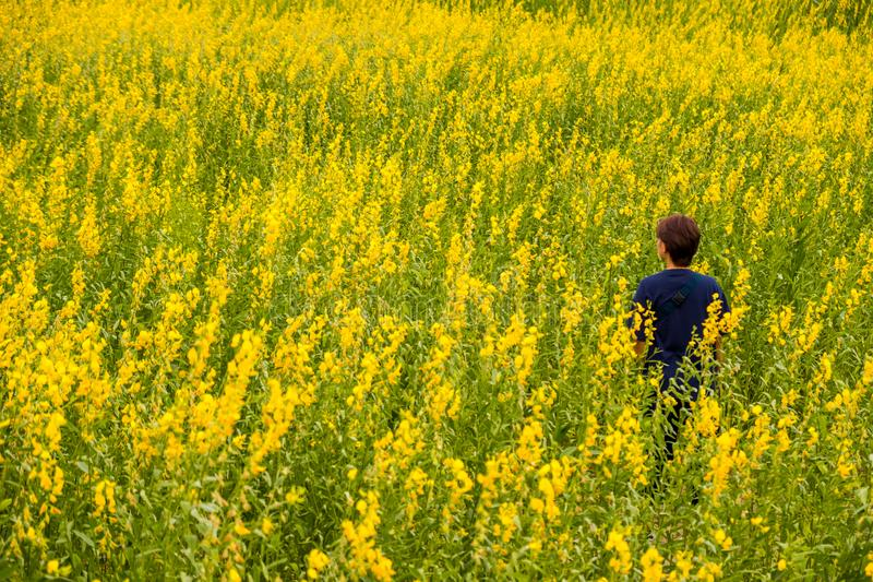 Suporte da mulher entre os campos de flores do juncea do Crotalaria ou do cânhamo de Sunn imagem de stock