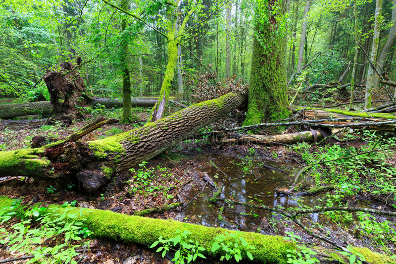 Suporte decíduo da chuva da floresta de Bialowieza em seguida no verão foto de stock royalty free