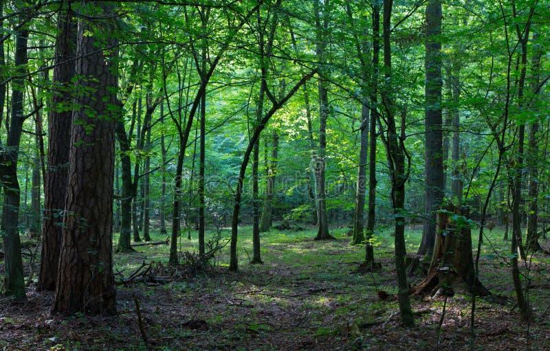 Suporte decíduo da floresta de Bialowieza na manhã foto de stock