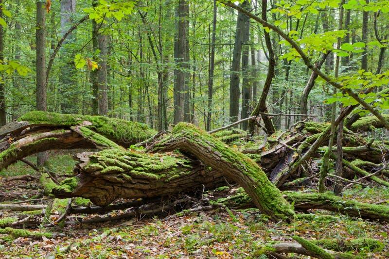 Suporte deciduous outonal com árvore inoperante fotografia de stock