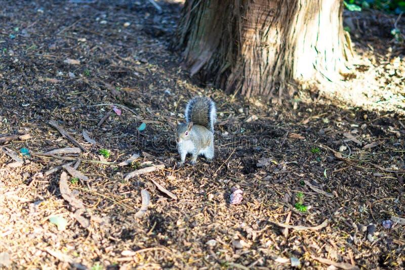 Suporte do esquilo na frente da árvore fotos de stock