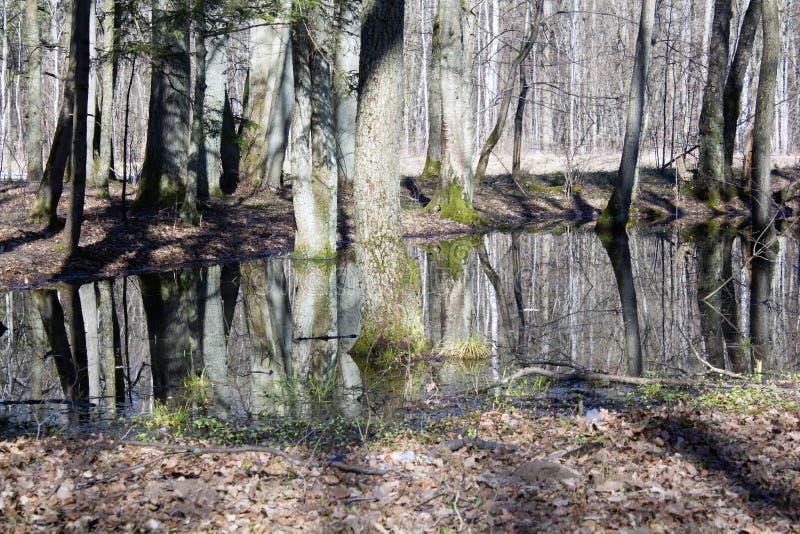 Suporte do pântano do amieiro da primavera com água ereta imagem de stock royalty free