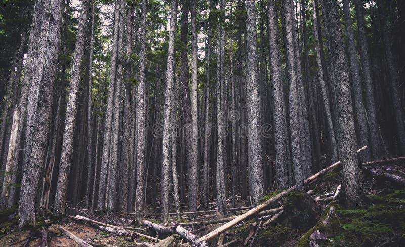 Suporte dos pinheiros na floresta fotografia de stock royalty free