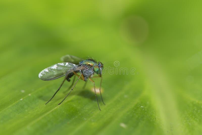 Suporte equipado com pernas longo nas folhas verdes, mosca verde pequena da mosca imagem de stock