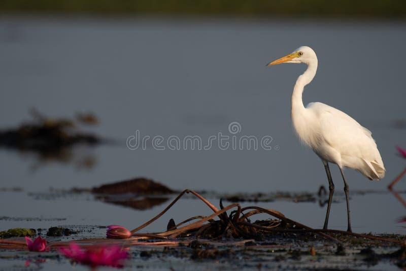 Suporte intermediário do Egret em lótus na área do pantanal fotos de stock royalty free