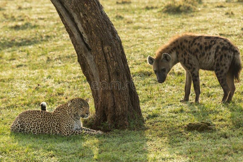Suporte isolador do leopardo e da hiena fotografia de stock