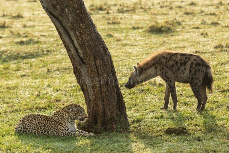 Suporte isolador do leopardo e da hiena fotos de stock royalty free