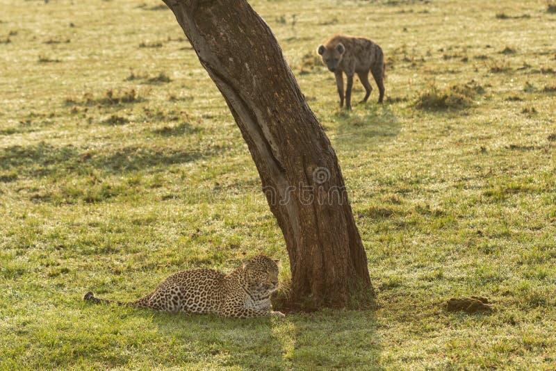 Suporte isolador do leopardo e da hiena foto de stock royalty free