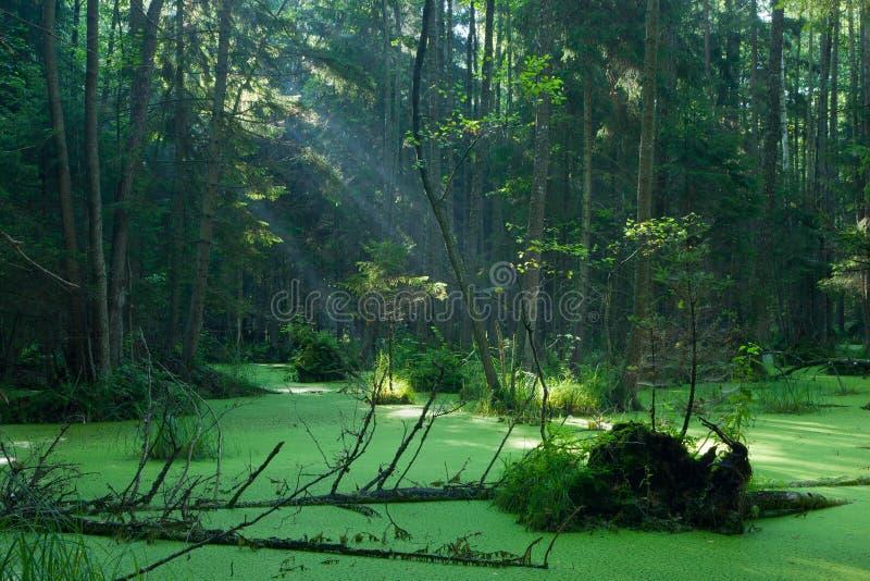 Suporte natural do amieiro-carr da floresta de Bialowieza no nascer do sol foto de stock royalty free
