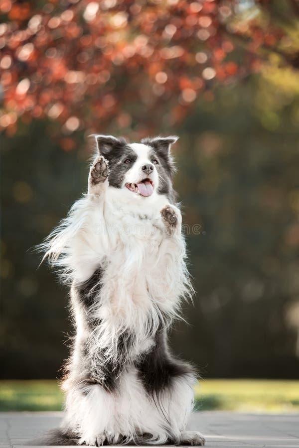 Suporte preto e branco de border collie do cão do retrato em duas patas fotos de stock royalty free