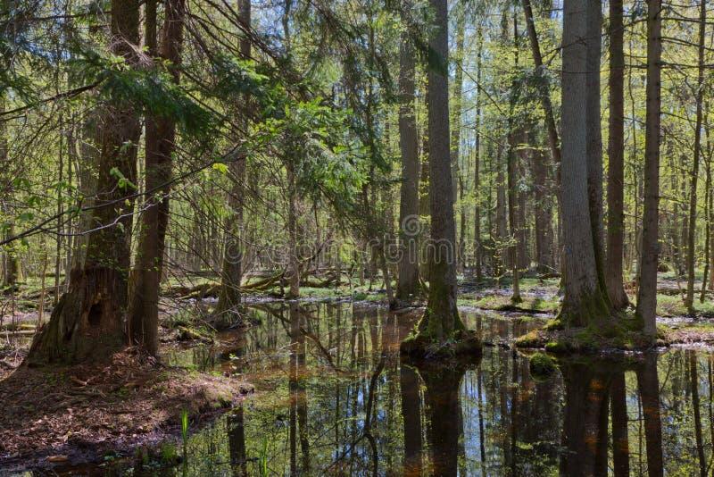 Suporte ribeirinho da floresta de Bialowieza no sol fotografia de stock royalty free