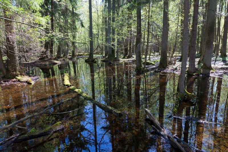 Suporte ribeirinho da floresta de Bialowieza no sol fotografia de stock