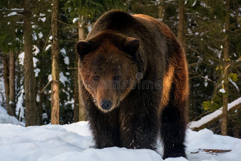 Suporte velho do urso marrom na floresta do inverno fotografia de stock royalty free