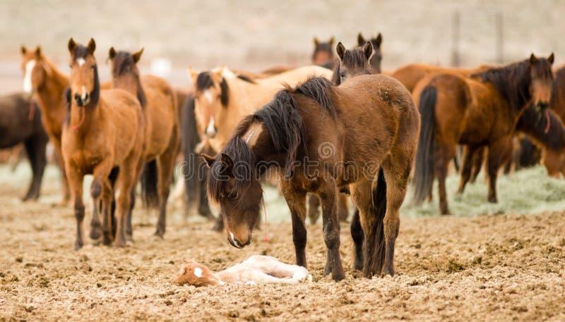 Suportes da mãe do cavalo sobre a prole cansado do potro do potro foto de stock royalty free