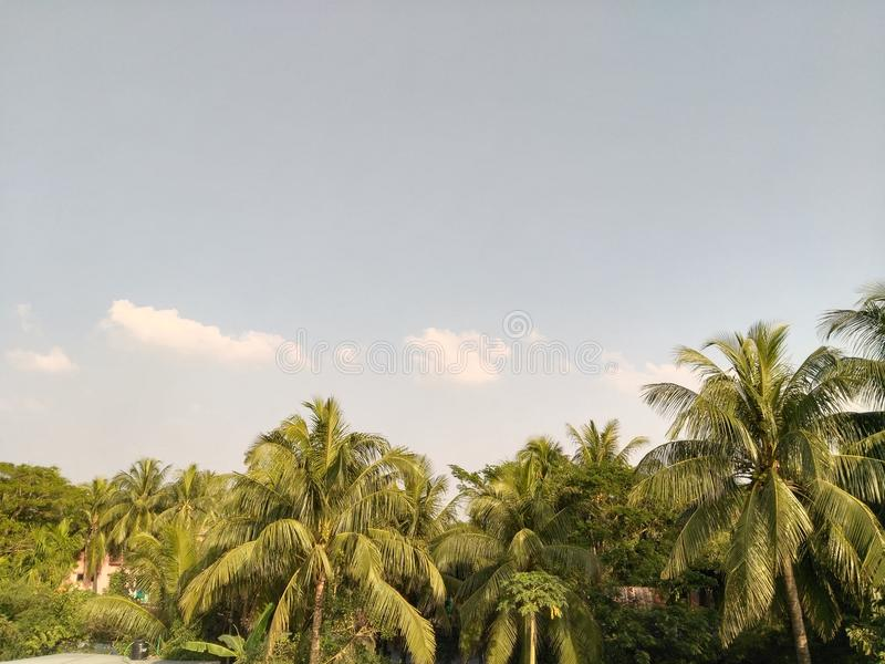 suportes das árvores de coco em seguido imagens de stock royalty free