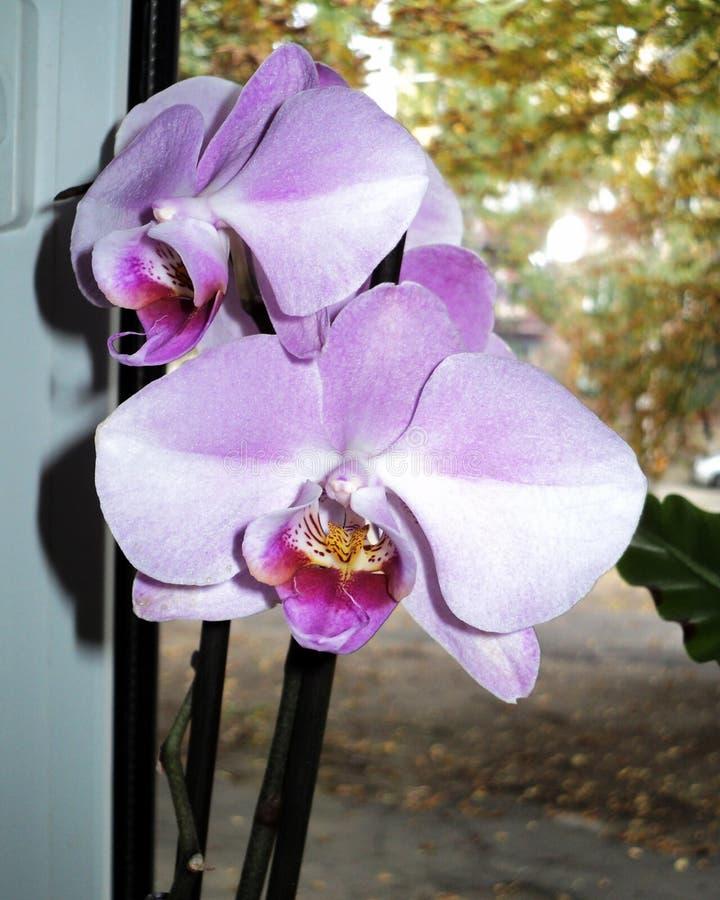 suportes de flor bonitos da orquídea na janela fotografia de stock