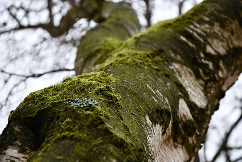 Suppengrünniederlassungen mit unscharfem Hintergrund Geknackte gealterte Oberfläche der weißen Baumrinde umfasst mit grünem Moos  stockbild