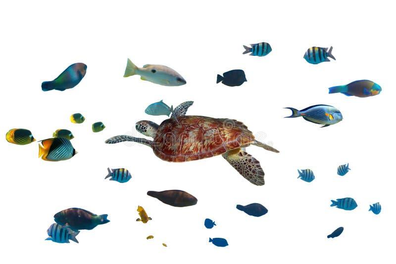 Suppenschildkröte und tropische Fische stockfotos